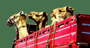 גמלים דחוסים בתוך קרון הובלה